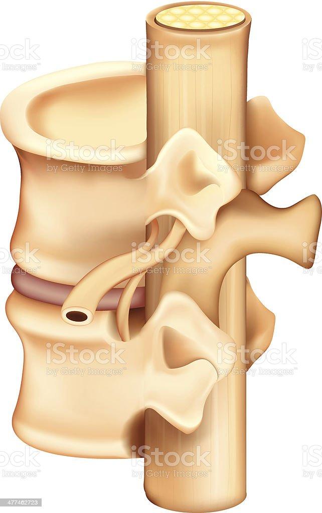 Vertebrae royalty-free vertebrae stock vector art & more images of anatomy