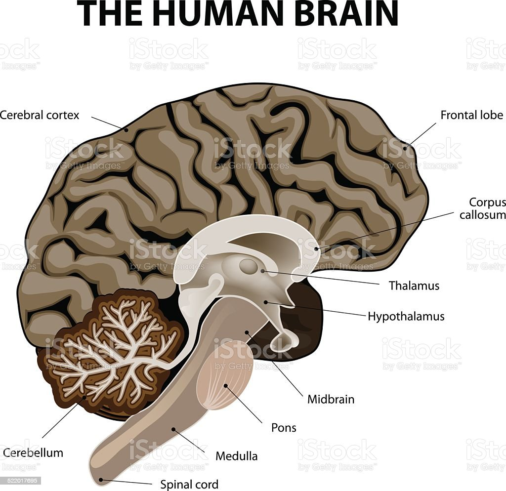 Vertical Section Of A Human Brain Stock Vector Art More Images Of