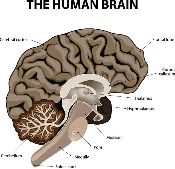 Vertical section of a human brain Vertical section of a human brain. showing the medulla, pons, cerebellum, hypothalamus, thalamus, midbrain. brain stem stock illustrations