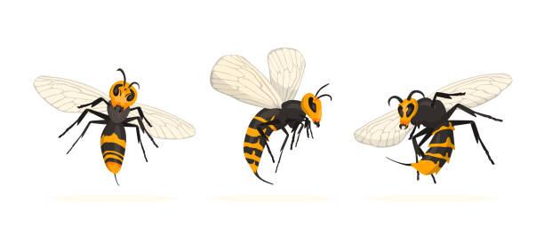 vespa mandarinia - murder hornet set. - murder hornet stock illustrations