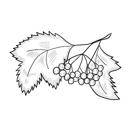 Viburnum sketch mon