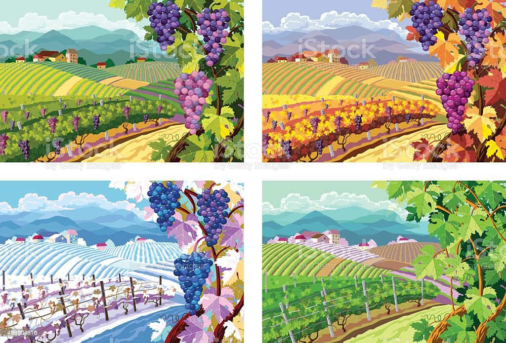Vineyard and grapes bunches. Four seasons. vector art illustration