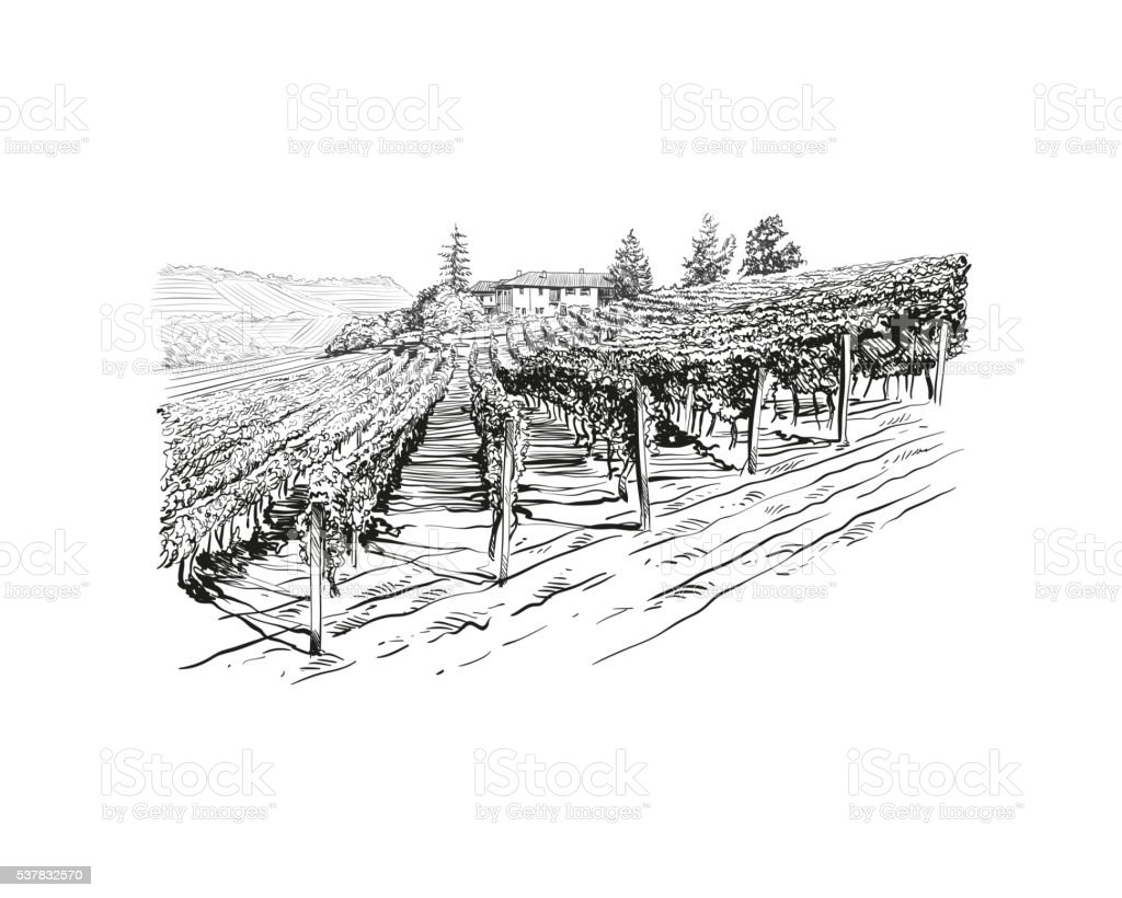 Vineyard landscape vector sketch design. Hand drawn illustration vector art illustration