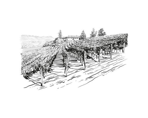bildbanksillustrationer, clip art samt tecknat material och ikoner med vineyard landscape vector sketch design. hand drawn illustration - vineyard