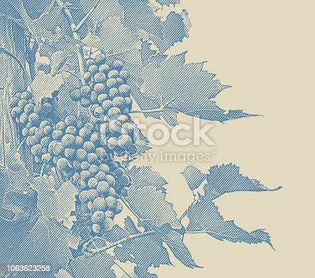 istock Vineyard wine grapes and vines 1063623258