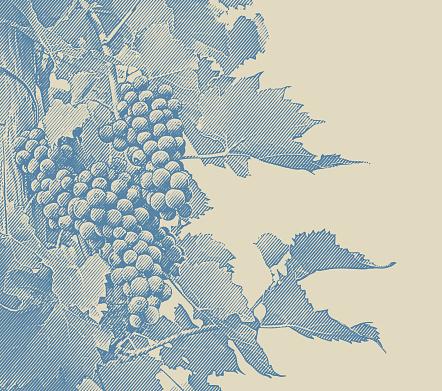 Engraved illustration of Vineyard wine grapes and vines