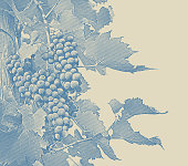 Engraved illustration of Vineyard wine grapes and vines