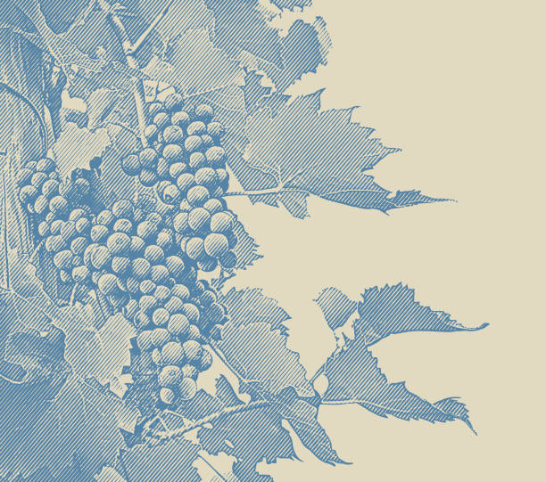 Vineyard wine grapes and vines Engraved illustration of Vineyard wine grapes and vines wine stock illustrations