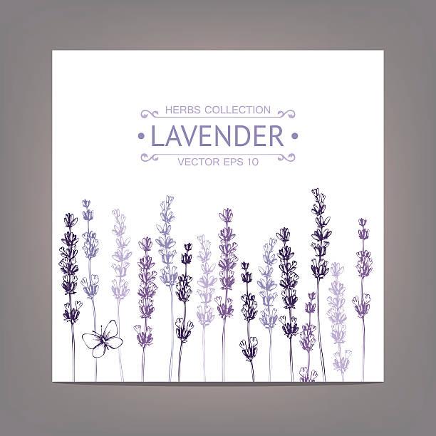 Vintage background with lavender flowers sketch Vector card with ink hand drawn lavender illustration. lavender color stock illustrations