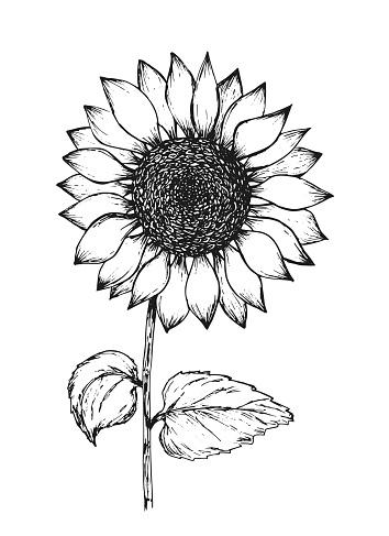 Vintage black outline ink pen sketch of sunflower