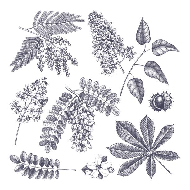 vintage blühende bäumen skizzieren satz. - robinie stock-grafiken, -clipart, -cartoons und -symbole