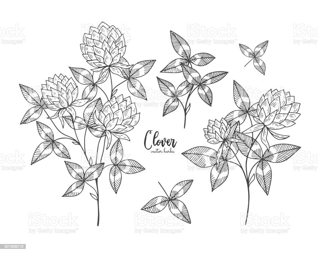 Vintage Botanical Engraving Illustration Of Clover Beauty And Spa