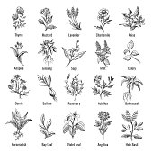 Botanical herbs sketch. Vintage botanical herb and flower hand drawn set, botanic wild herbs plants drawings vector illustration isolated on white background