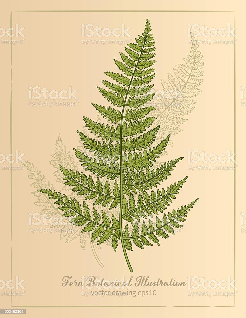 Vintage Botanical Style Fern Illustration vector art illustration