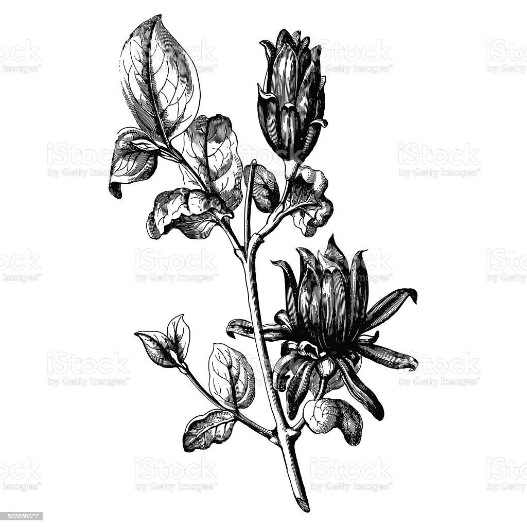 Vintage botany vector art illustration