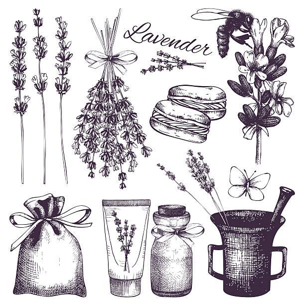 Vintage collection of lilac lavender flowers sketch Vector set of ink hand drawn lavender illustration in lilac color. lavender color stock illustrations