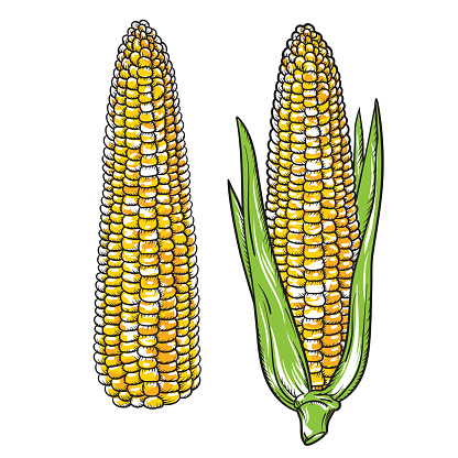 Vintage Detailed hand drawn Corn. Engraving style vector corn. Isolated Vegetable engraved style object. Vegetarian food drawing. Farm market product for menu and label.