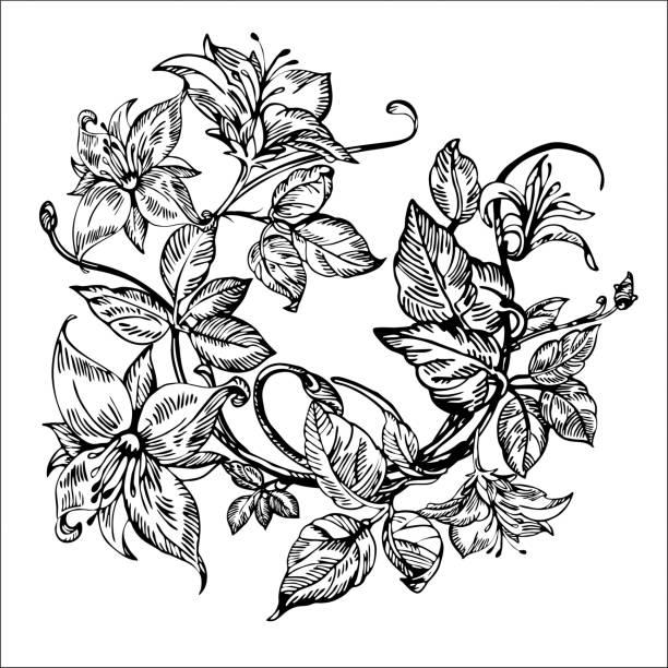 Vintage elegant flowers.  Honeysuckle flower. Botany. Vintage elegant flowers. Black and white vector illustration. Honeysuckle flower. Botany. Vector honeysuckle stock illustrations