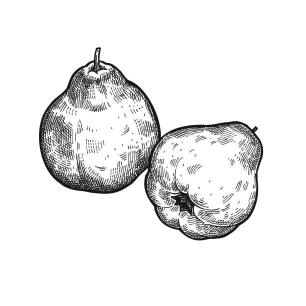 Vintage Gravur Apfel Quitte. – Vektorgrafik