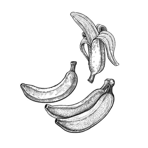 Vintage engraving banana. Banana. Realistic vector illustration plant. Plantain fruit isolated on white background. Hand drawing. Decoration for the menu and kitchen design. Vintage black and white engraving. Vegetarian food banana stock illustrations