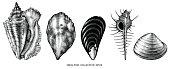 Fossil ammonite nautilus seashell vector design. Hand drawn illustration for spa salon, seafood cafe, restaurant, corporate identity. Isolated vector of ancient ammonite fossil. Object for design, card.