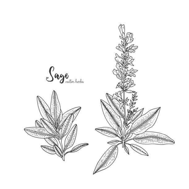 vintage engraving illustration of sage. healing and cosmetics herb. botanical illustration for natural cosmetics, beauty store, health care products, perfume, essential oil. - sage stock illustrations, clip art, cartoons, & icons