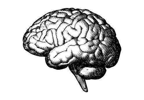 Vintage engraving side of human brain vector illustration