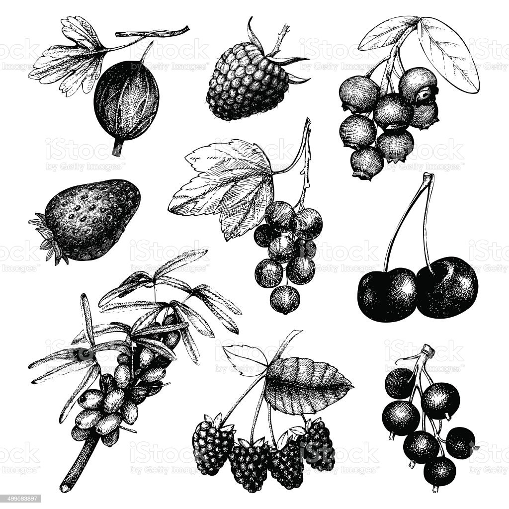 Vintage fruit and berry illustration vector art illustration