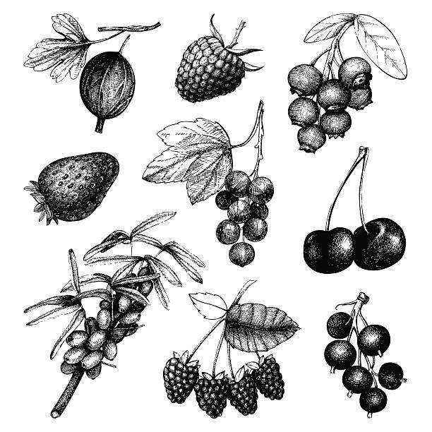 Vintage fruit and berry illustration vector art illustration