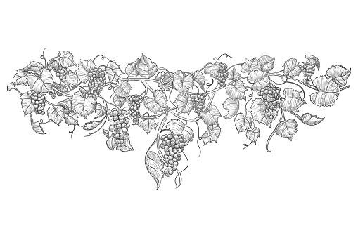 Vintage hand drawn grape branch isolated on white