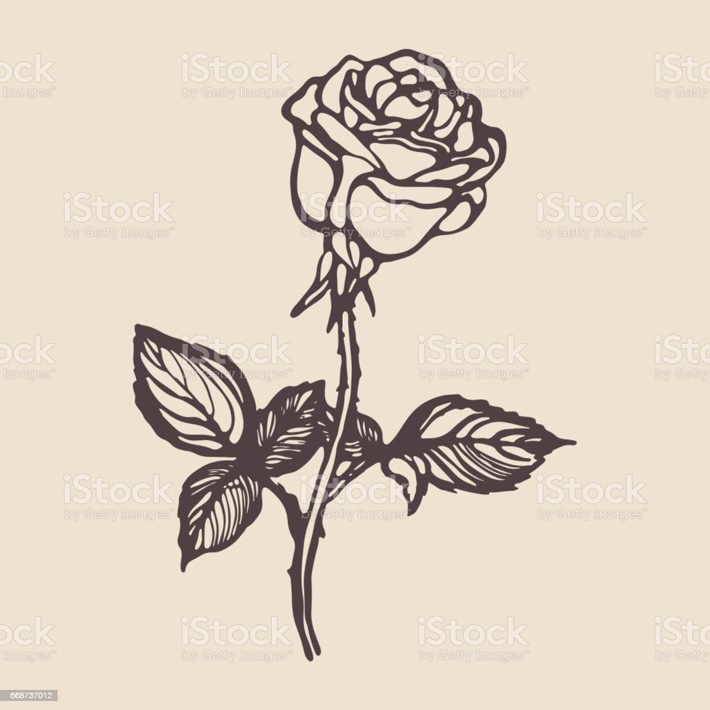 Vintage Hand Drawn Rose Stock Vector Art More Images of Art