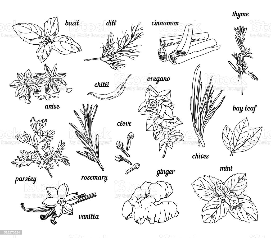 Vintage hand sketched herbs and spices. Plants and herbs vector art illustration