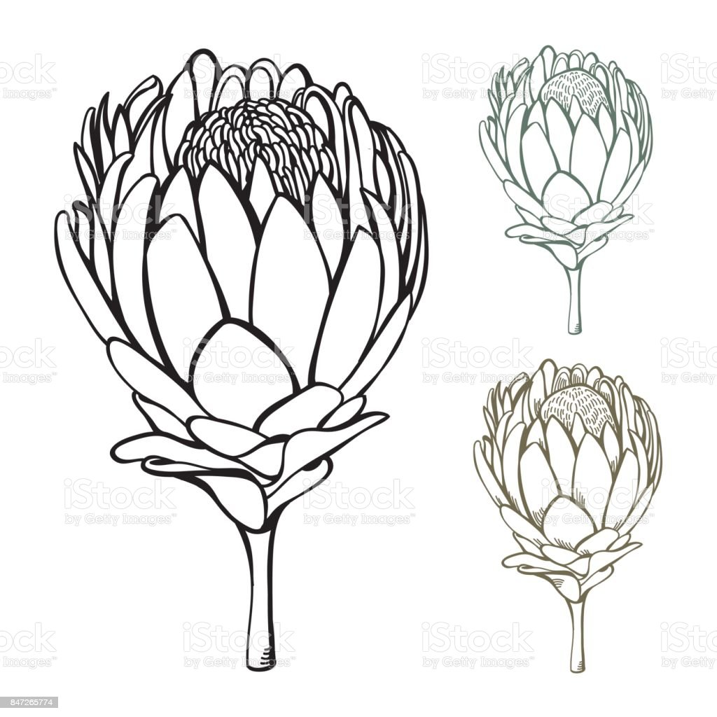Vintage handdrawn Protea Flower Set vector art illustration