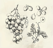 Vintage illustration of white ink drawn wine grape