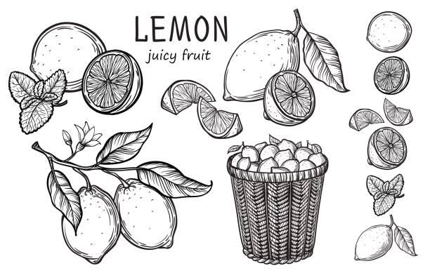 Vintage lemon tree sketch. Vintage lemon tree sketch. Vector hand drawn illustration. citrus fruit stock illustrations