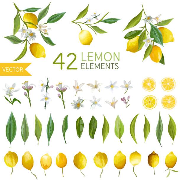 Vintage Lemons, Flowers and Leaves. Lemon Bouquetes. Watercolor Style vector art illustration