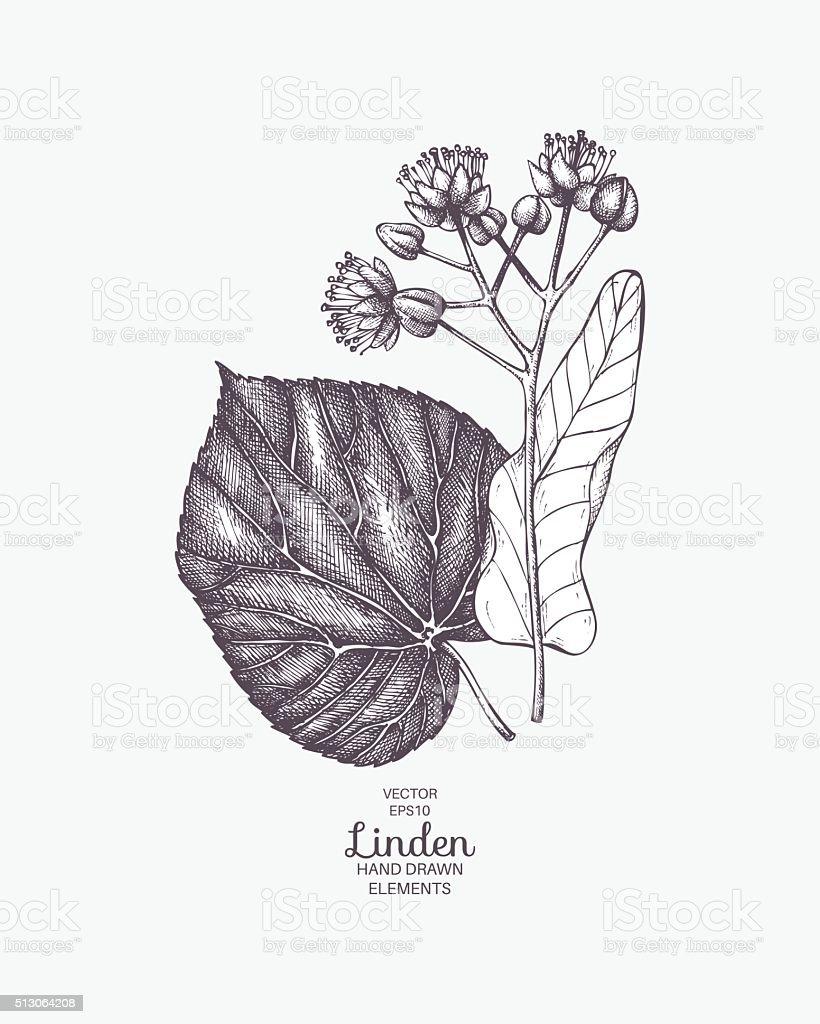 vintage lime tree flower sketch stock vector art 513064208 istock