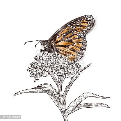 Beautiful monarch butterflies perched on milkweed adorn these illustrations in a detailed, old fashioned line artwork style. Perfect for fabric, wallpaper or anything that needs a touch of nature.