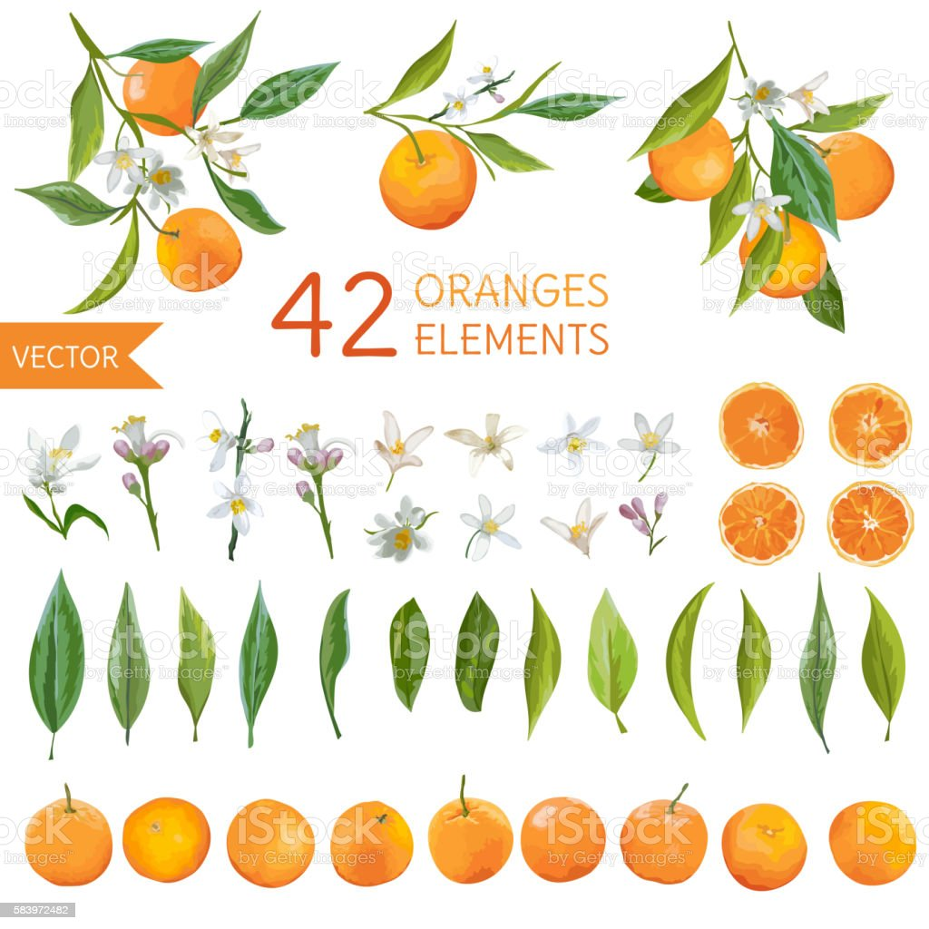 Vintage Oranges, Flowers and Leaves. Lemon Bouquetes. Watercolor Style vector art illustration
