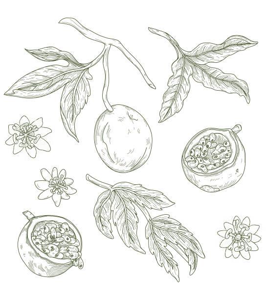 Vintage Passion Fruit Fresh Fruit Line Artwork Set vector art illustration