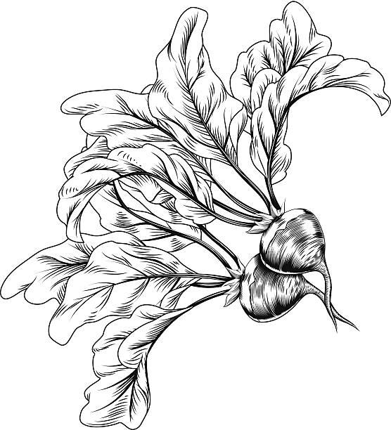 Vintage retro woodcut radish or beets A vintage retro woodcut print or etching style radish or beets illustration beet stock illustrations