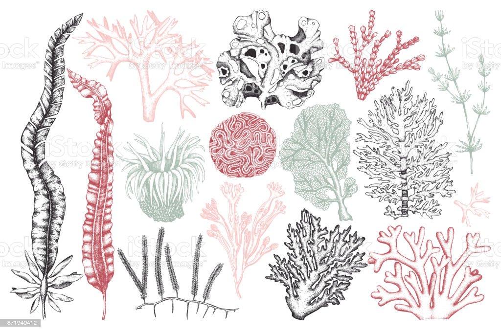 colección vintage de algas - ilustración de arte vectorial