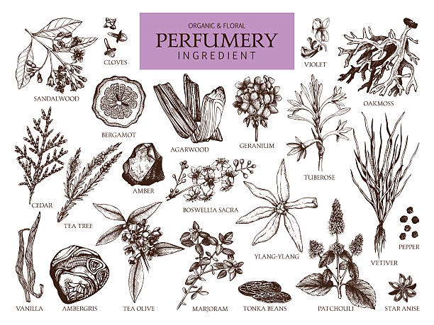 Vintage set of aromatic plants for perfumes and cosmetics. Vector collection of hand drawn perfumery materials and ingredients. lavender plant stock illustrations