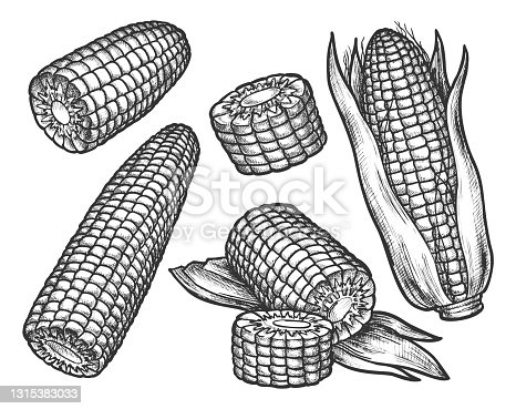 Vintage sketch of corn cob with grains. Hand drawn sweet maize. Popcorn ingredient or raw corncob. Farm harvest and vegetarian food, organic nutrition, vegetable. Market product sketching