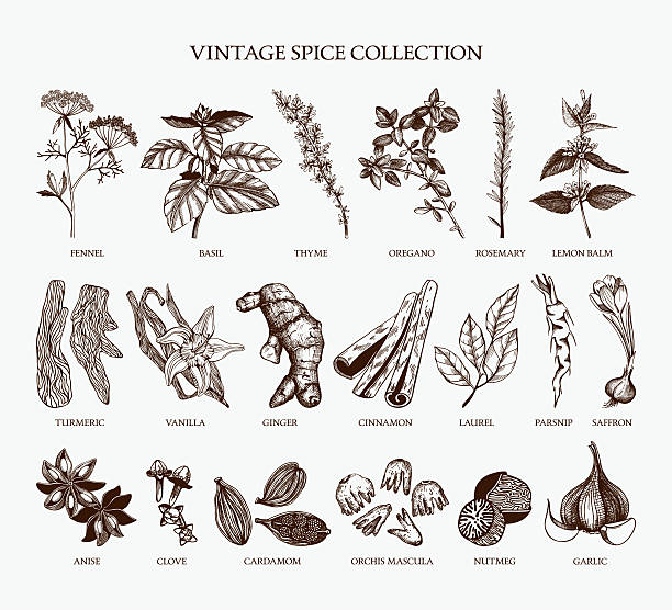Vintage spice collection for your menu or kitchen design Vector set of hand drawn spices and herb sketch isolated on white background. basil stock illustrations
