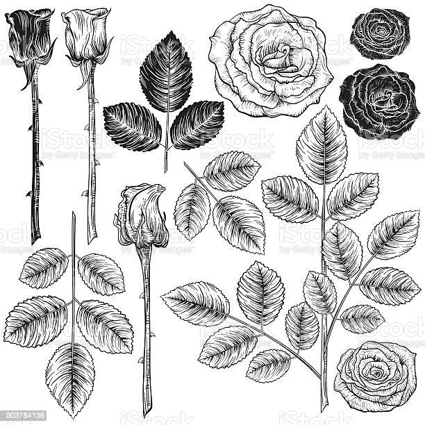 Vintage style botanical roses design elements vector id503784136?b=1&k=6&m=503784136&s=612x612&h=bilkgohlxl zyuduiwreyrcasb0ieauad lq5 h4nqk=