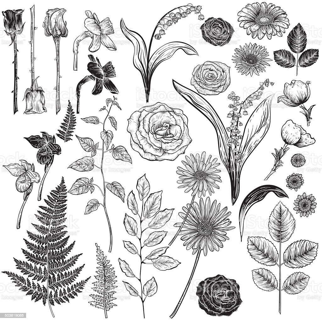 Botanische Rosen im Vintage-Stil Design-Elemente – Vektorgrafik