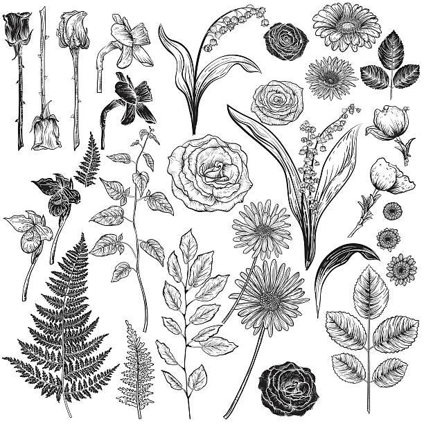 botanische rosen im vintage-stil design-elemente - rosenpflanzen stock-grafiken, -clipart, -cartoons und -symbole