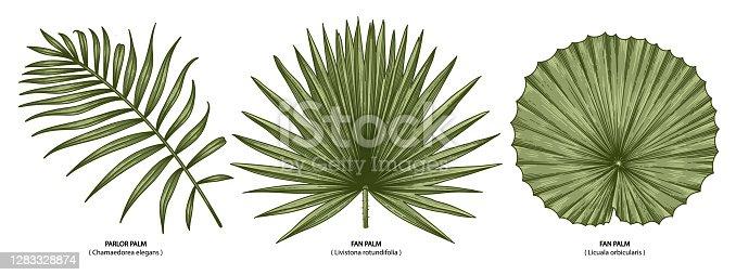 Vintage vector botanical illustration, tropical exotic plant, jungle foliage, palm leaves set isolated on white background.