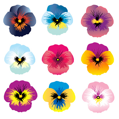 Viola. Bright flowers. Set. Floral background. Isolated.